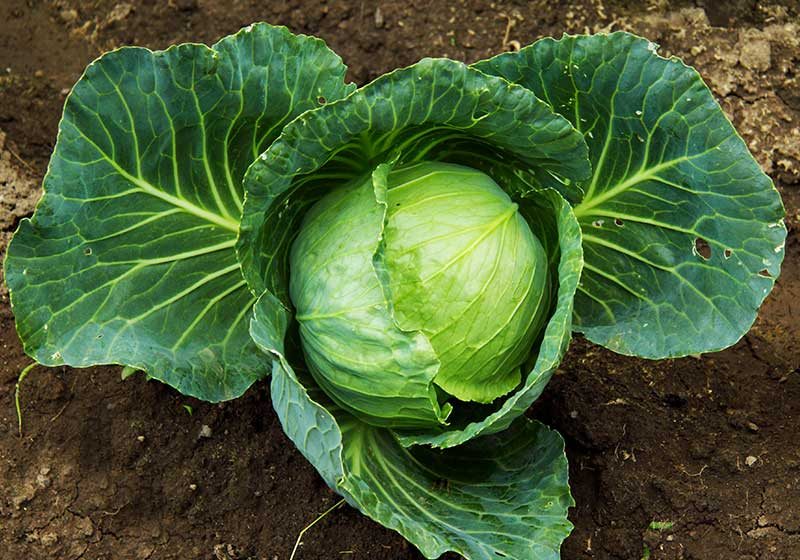 Autumn cabbage grows on the ground | Fall Garden Crops | Fruits And Veggies Perfect To Grow This Season | Fall Season Garden Ideas