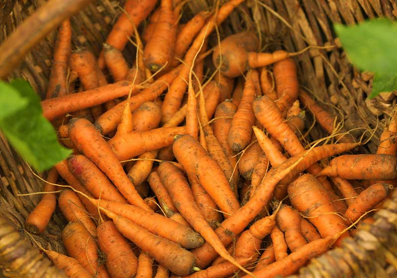 Basket full of autumn harvest carrots | Fall Garden Crops | Fruits And Veggies Perfect To Grow This Season | Fall Season Garden Ideas