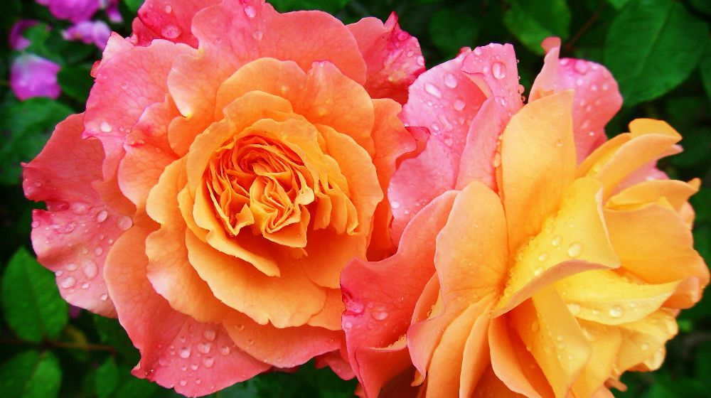 Roses in nature   Stunning Rose Variety Without Thorns For Hassle-Free Gardening   thornless roses meaning   Featured