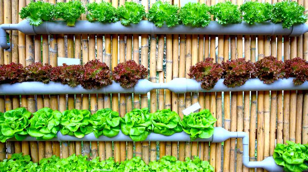 Hydroponic Salad Vegetable | Hydroponic Gardening FAQs: What Is It And How Does It Work? | Featured
