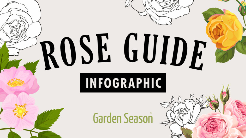 feature image   How To Identify Rose Variety Like A Flower Expert [INFOGRAPHIC]   Garden Season Tips