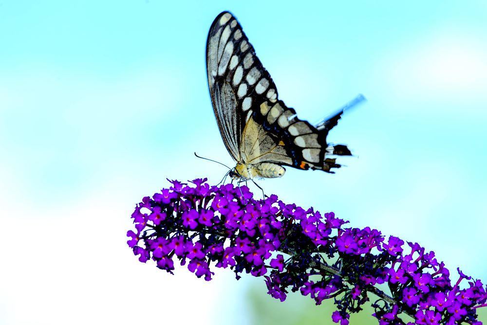 Giant Swallowtail Butterfly On Bush | 12 Invasive Plants To Avoid When Gardening