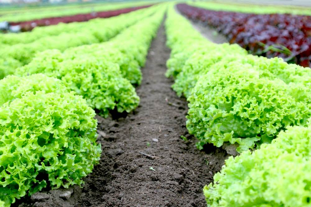 Food Salad Field Fresh | Spring Vegetables To Plant In Your Garden
