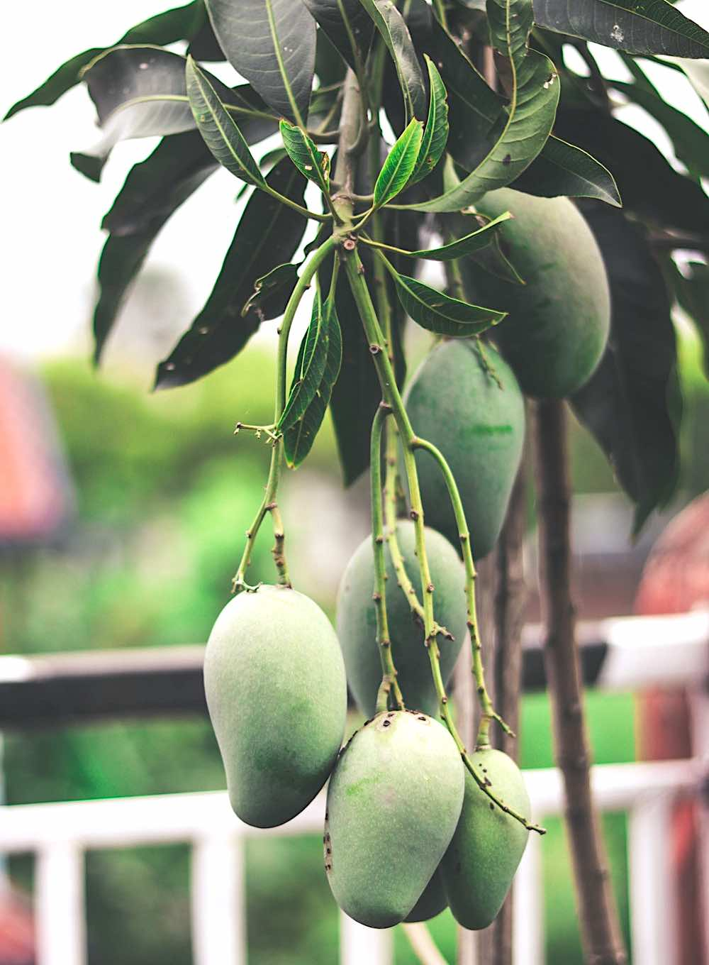 Green Mango Fruits Hanging On Tree | Spring Fruits You Should Plant In Your Garden | what fruits are in season now