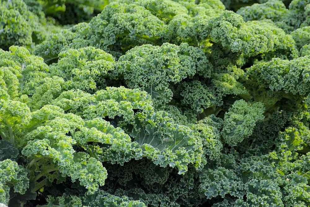 Kale Plant | Spring Vegetables To Plant In Your Garden