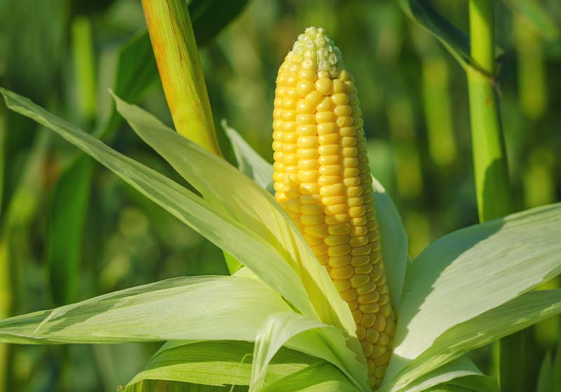 Ear of corn in a field in summer before harvest | Perfect Summer Garden Crops For A Bountiful Harvest | garden cover crop summer