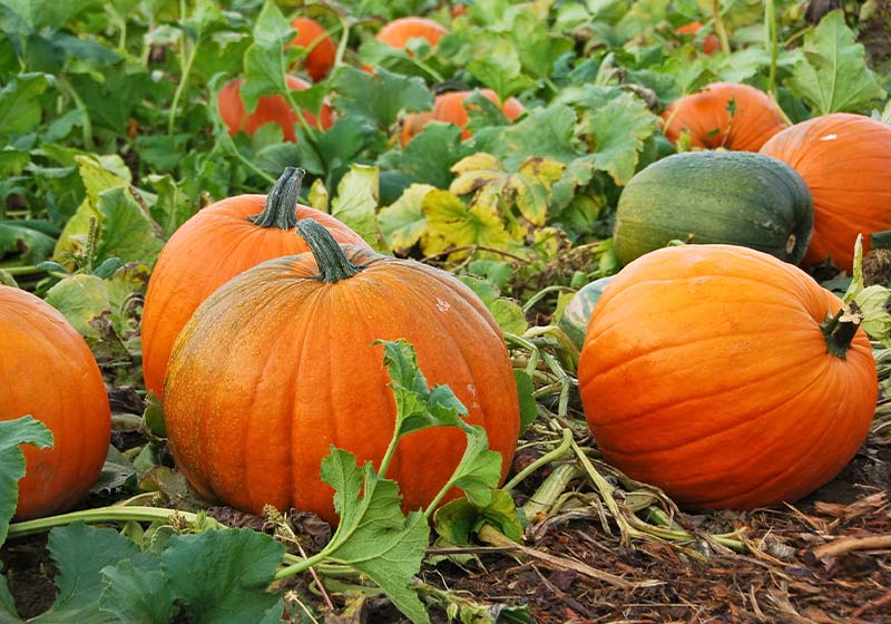 Fresh, ripe, pumpkins growing in field | Perfect Summer Garden Crops For A Bountiful Harvest | late summer vegetables to plant