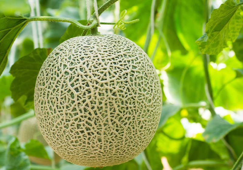 Organic Cantaloupe in the garden | Perfect Summer Garden Crops For A Bountiful Harvest | best summer crops