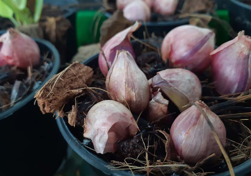 Shallot growing from Soil | Perfect Summer Garden Crops For A Bountiful Harvest | best summer crops