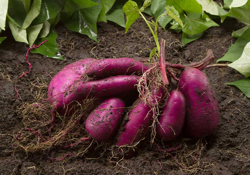 Sweet potato produce put on ground | Perfect Summer Garden Crops For A Bountiful Harvest | summer vegetables