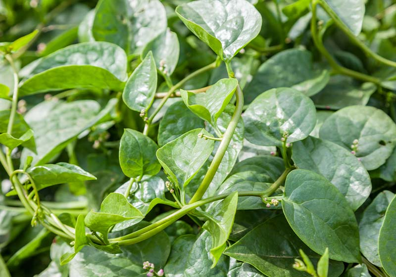 malabar spinach in the field | Perfect Summer Garden Crops For A Bountiful Harvest | summer vegetables