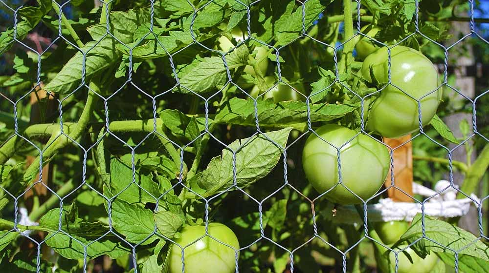 Caged Green Tomatoes | DIY Tomato Cages and Stakes To Properly Support Your Tomato Plants | how to use tomato cages | featured