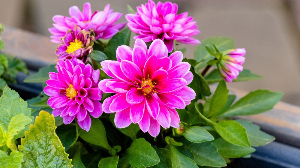 dahlia blossom | Summer Flowers To Plant Now For A Blooming Garden | garden flowers | Featured