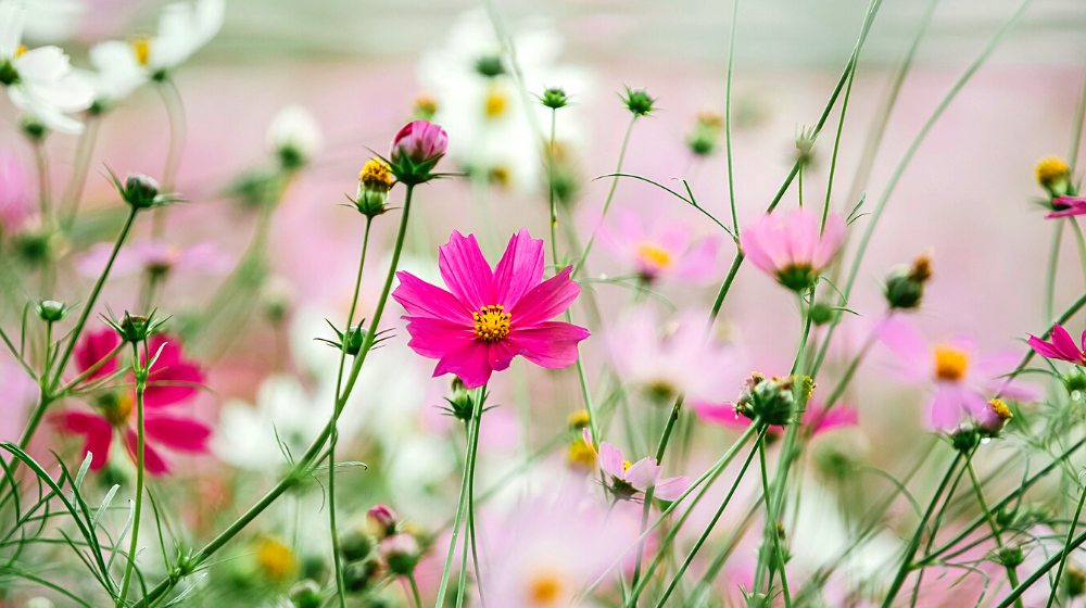 flowers cosmea flower cosmos | Your Ultimate Guide On Growing Cosmos Flower For A Colorful Garden | cosmos flower colors | featured