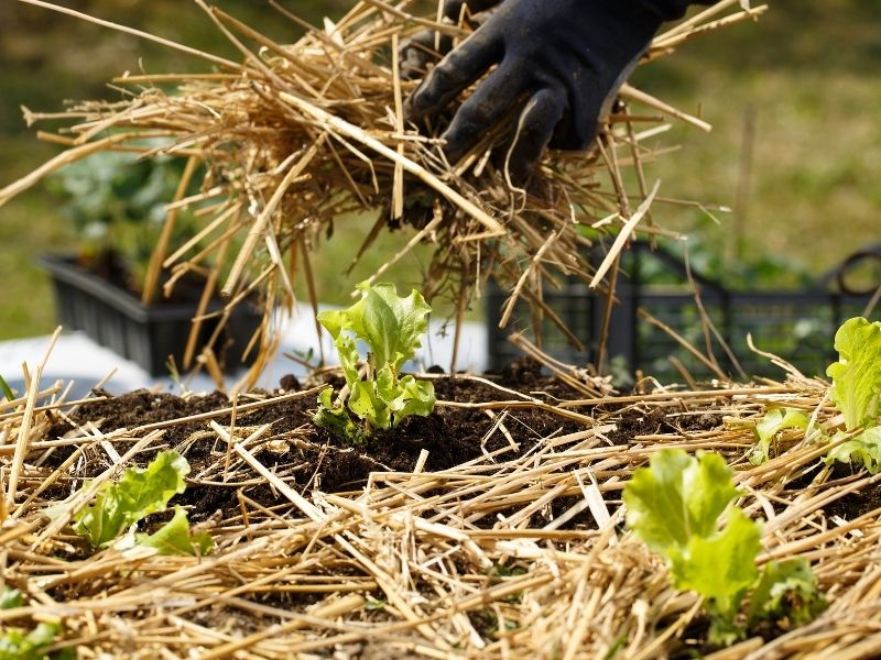 Gardener planting seedlings in freshly ploughed garden beds and spreading straw | mulching