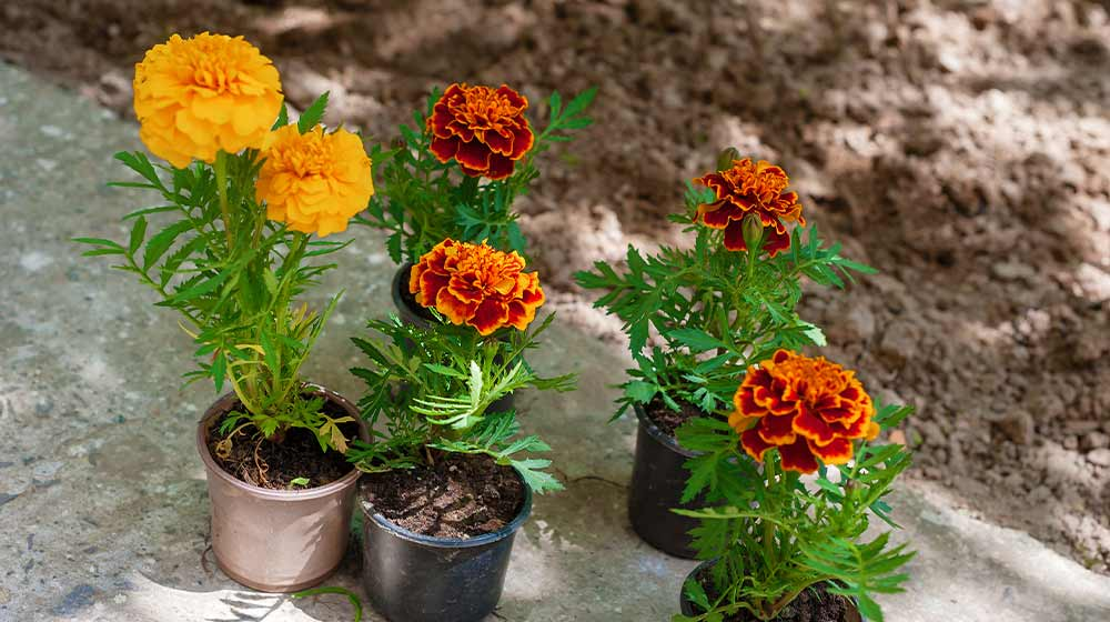 Marigold seedlings in small pots in the garden | How To Grow Marigold Flowers For Your Summer Flower Garden | marigold flower uses | featured