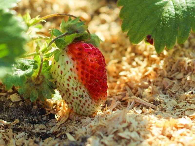 Young red green strawberries in the garden | Mulch Colors: How To Choose The Right One For Your Garden