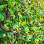 Basella Rubra | How To Grow Malabar Spinach | A Step By Step Guide | red malabar spinach | featured