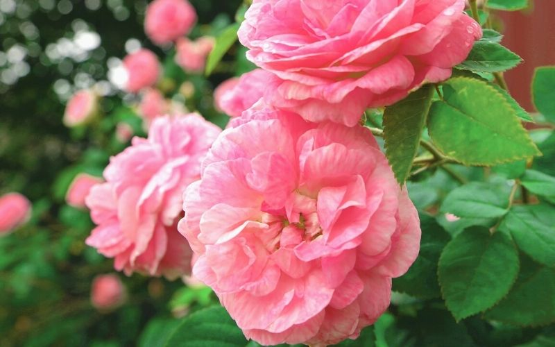 beautiful shrub roses growing outdoor | 13 Pretty Fall Flowers To Plant In Your Autumn Garden Right Now