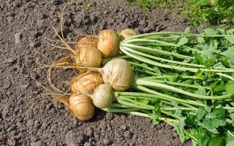 fresh gathered turnips | fall crops