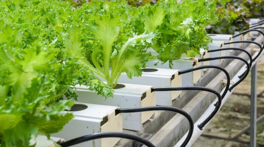 hydroponic fillie iceburg leaf lettuce vegetables plantation | What Is A Nutrient Film Technique System And How Does It Work? | Featured