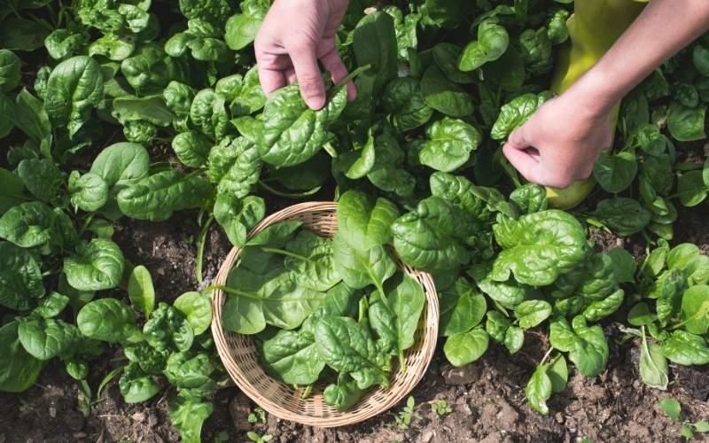 picking spinach in a garden | fall season