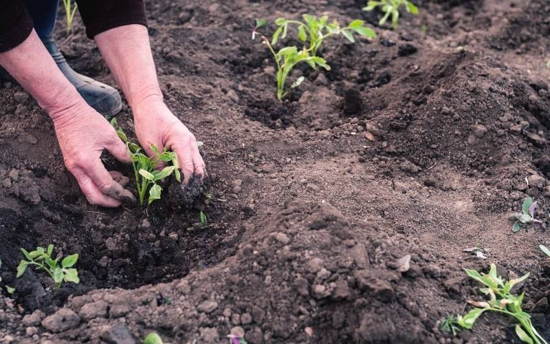 women's hands transplanted seedlings garden | How To Grow Parsnips For A Fresh Fall Harvest
